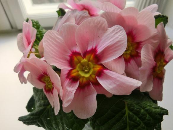pink primulas