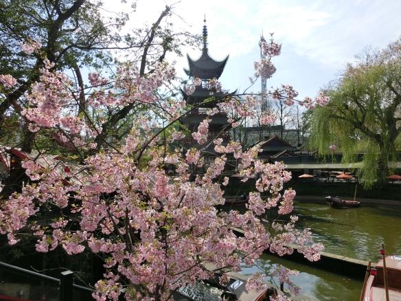 Cherry blossom in Tivoli
